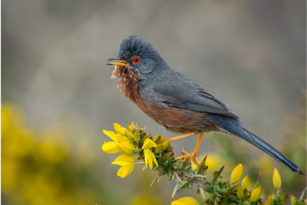 Photograph of a male Dartford warbler perched on flowering gorse