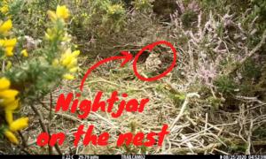 Still from a video showing a nightjar on her nest