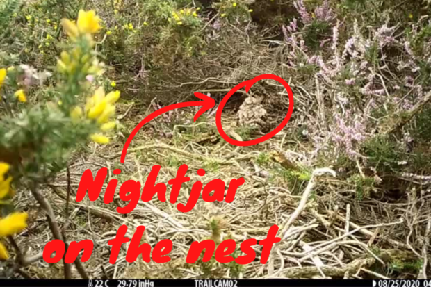 Still from a video showing a nightjar on her nest