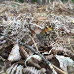 Photograph of a grayling almost hidden amongst dry leaves
