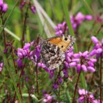 Photograph of a grayling amongst heather