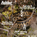 Photograph of an adder with labels indicating vertical slit pupil and dark zig-zag