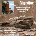 Labelled photograph of a nightjar indicating white patches on tail and wings, and mottled brown camouflage