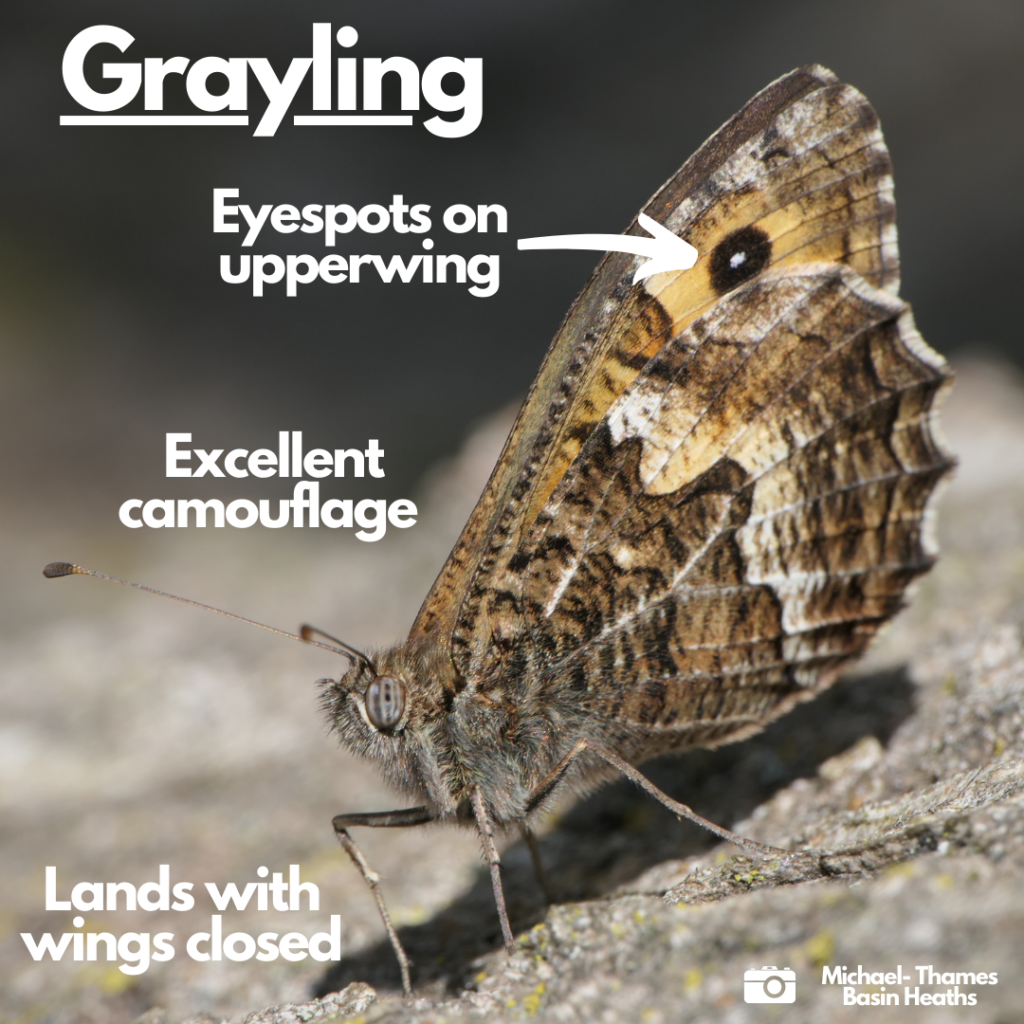 Labelled photograph indicating eye spots on upper wing