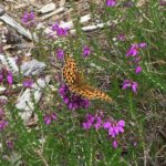 Pretty photograph of a fritillary butterfly on bell heather