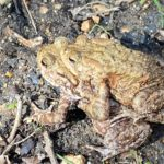 Photograph of coupled toads