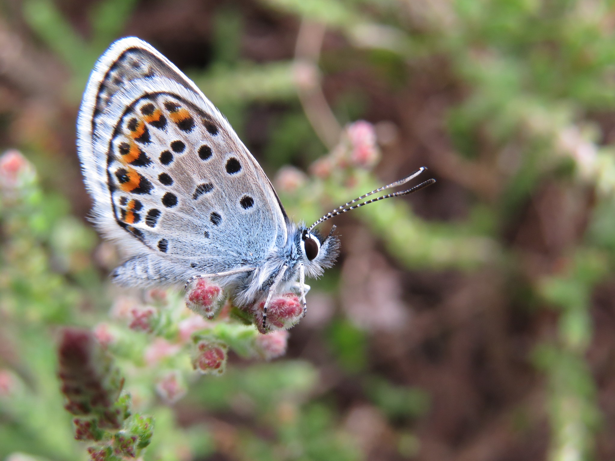 Photograph of a silver-studded blue butterfly on heather