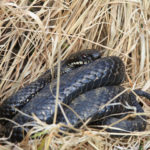 Photograph of a dark adder curled up in dry grass