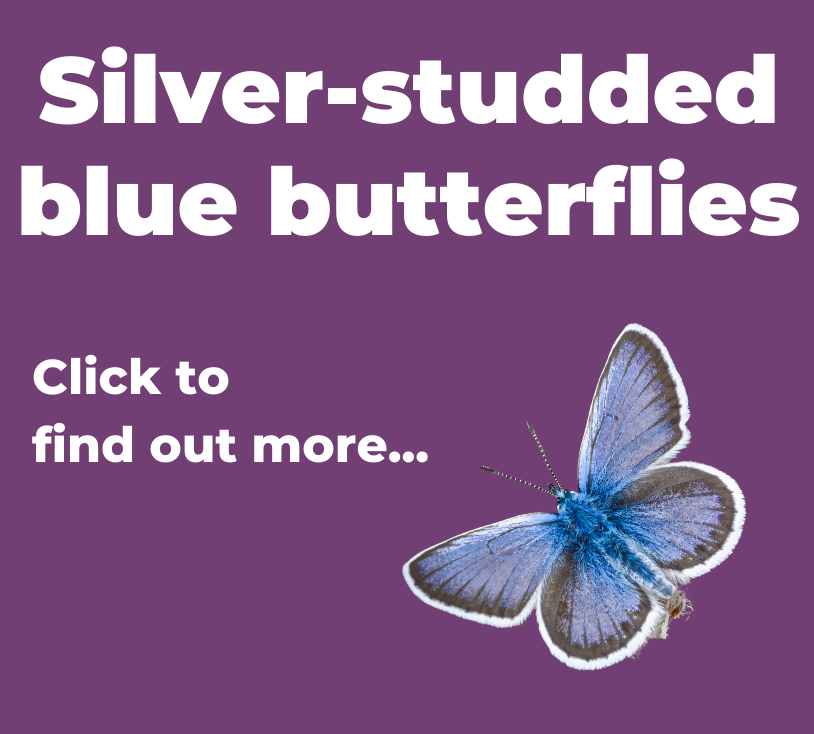 A button to click to find out more about silver-studded blue butterflies