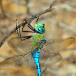 Photograph of an emperor dragonfly showing green thorax