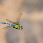 Photograph of a dragonfly in flight