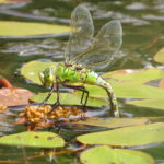 Female with abdomen dipped into water
