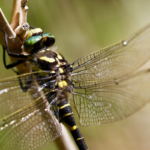 Close-up photograph of golden-ringed dragonfly