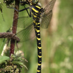 Photograph of golden-ringed dragonfly