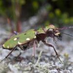 Close up photograph of an iridescent green beetle.