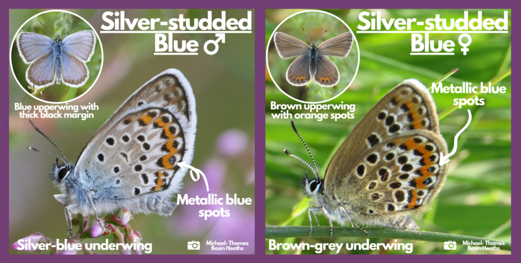 Silver-studded blue ID guides
