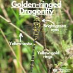 Labelled photograph pointing out bright green eyes, yellow costa on wings and yellow rings
