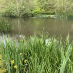 Photograph of one of the ponds, with yellow flag irises in the foreground