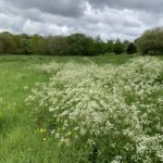 Meadows with lots of cow parsley in flower in the foreground