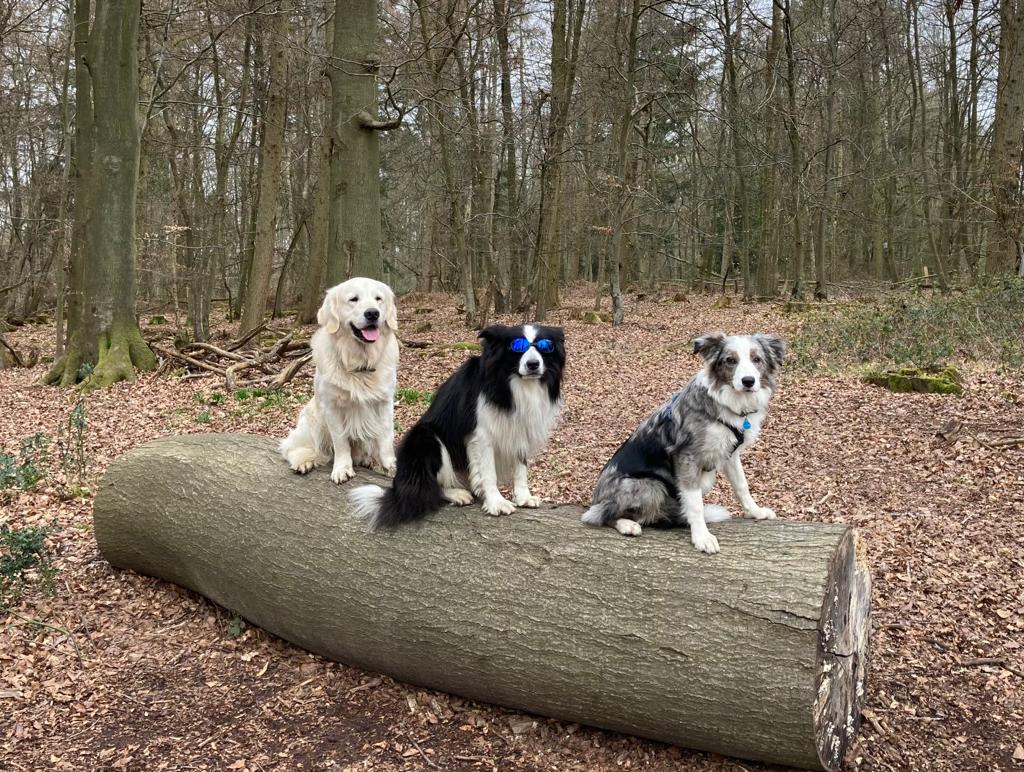 Photos of Val's golden retriever and two collies sitting on a log