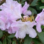 Mauve rhododendron
