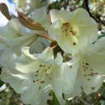 Cream rhododendron