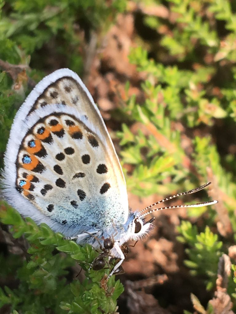 Photo showing an adult silver-studded blue being escorted by ants
