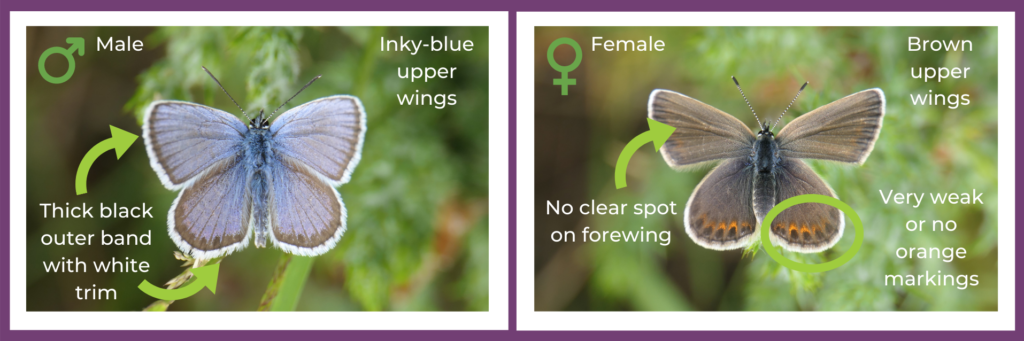 Graphic highlighting the visual differences between male and female silver-studded blue butterflies