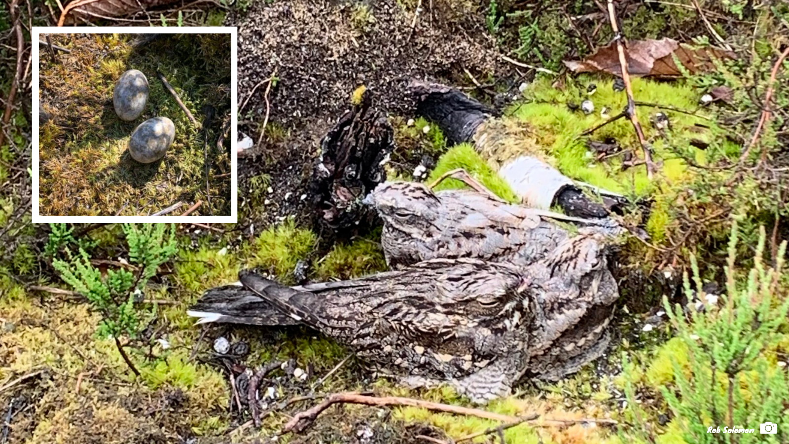 Three nightjars on a nest, with an inset photograph showing the two eggs on the ground