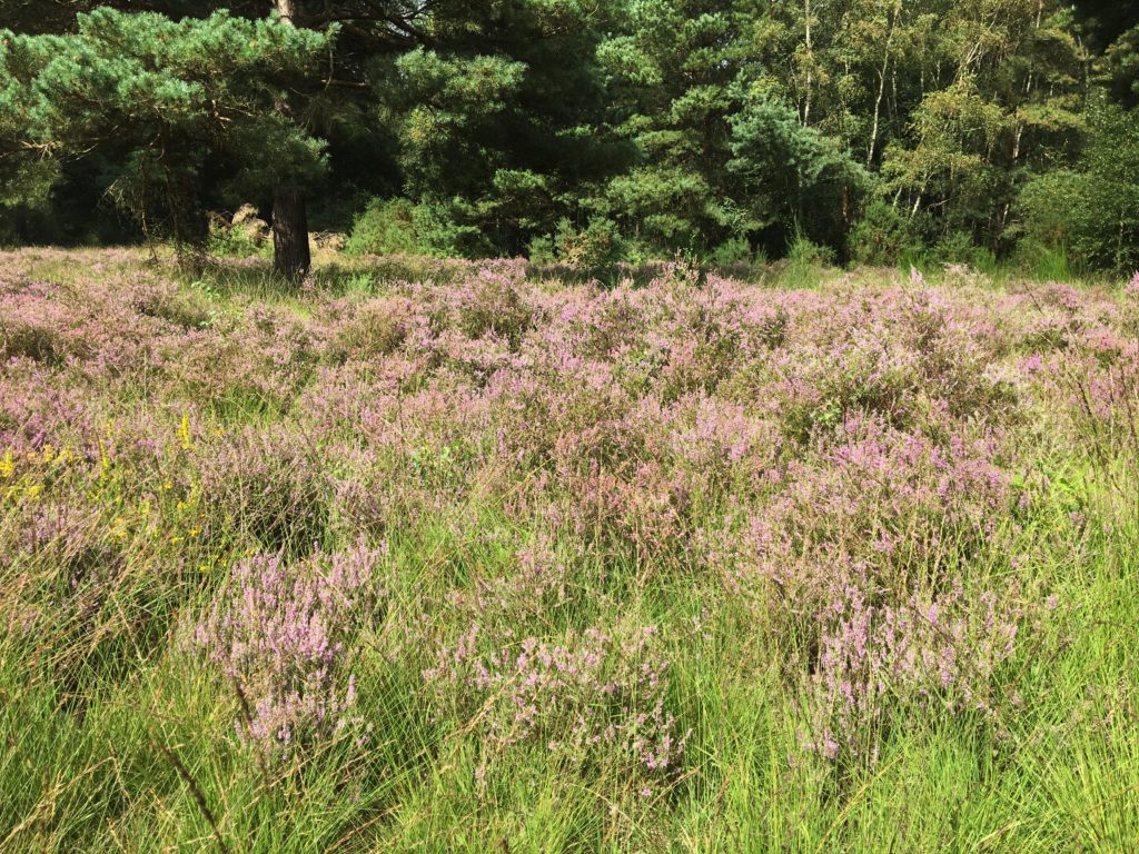 Photograph of heather in bloom