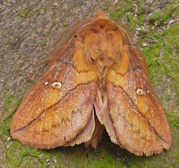 Photograph of a orange-brown moth with fluffy body and a prominent snout.