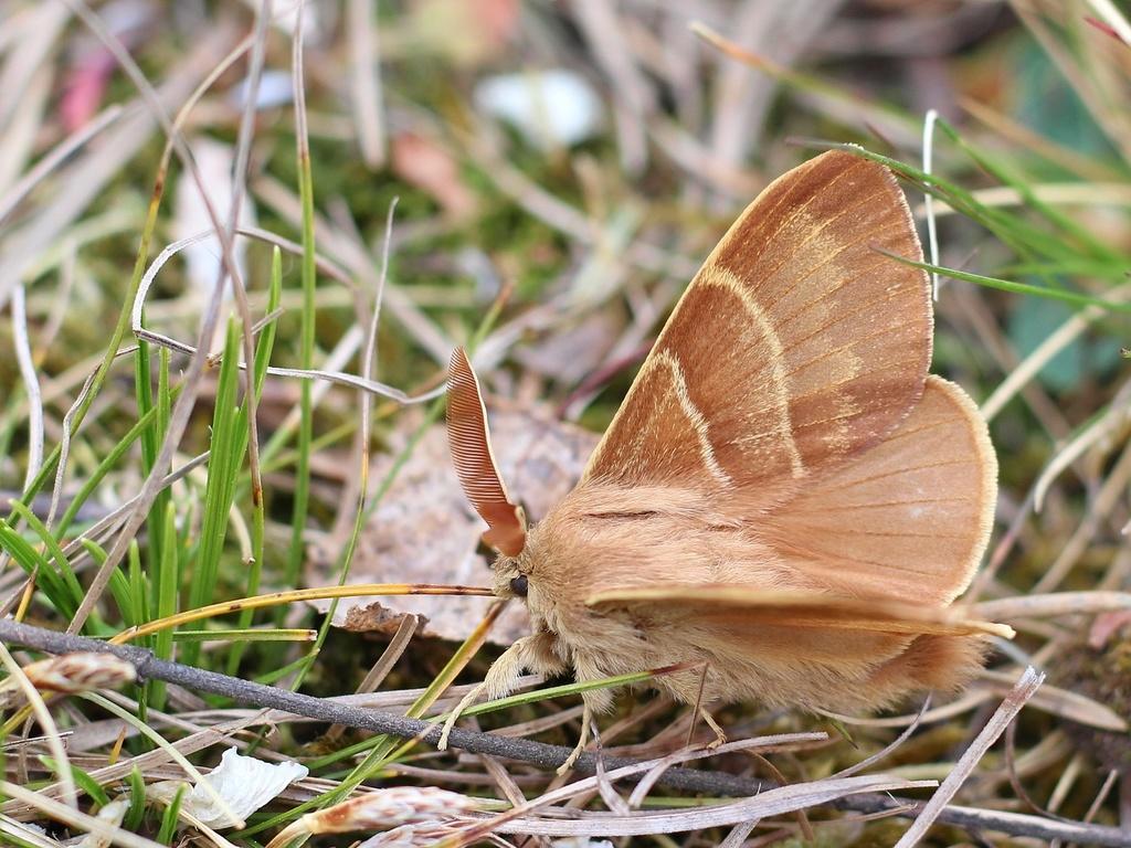 Photograph of a light brown moth