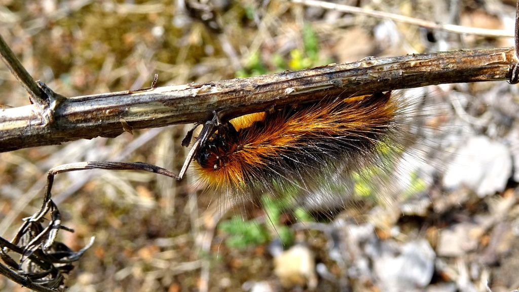 Photograph of a caterpillar with very long black and ginger hairs