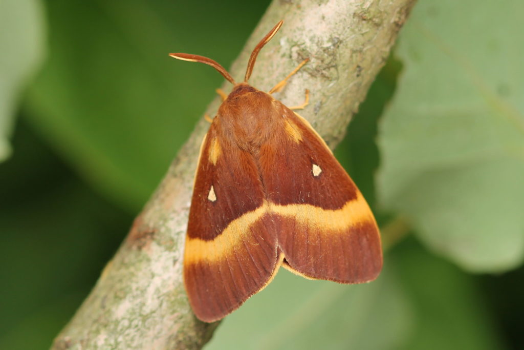 Photograph of a red-brown moth with yellow markings